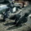 pigeons on a ledge