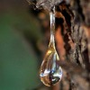 drop of tree sap