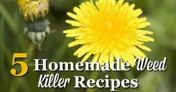 5 homemade weed killer recipes