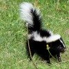 skunk in grass