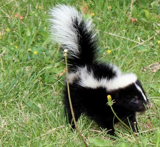 Recipe For Cat Getting Sprayed By Skunk